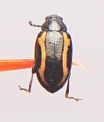 Zimmerman's Flea Beetle? - Phyllotreta zimmermanni