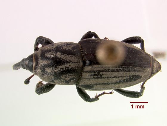 LSAM billbug 31   - Sphenophorus venatus