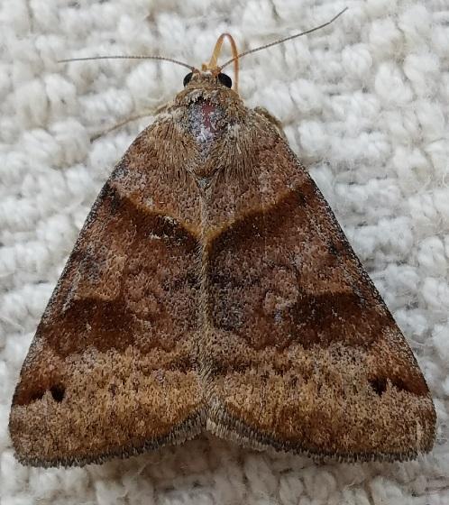 Caenurgina crassiuscula (Clover Looper) - Caenurgina crassiuscula