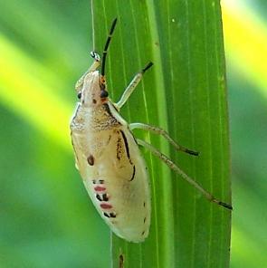 Pale bug - Oebalus pugnax