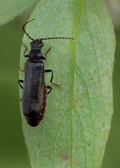 Small beetle on Salix sp. - Dichelotarsus flavimanus