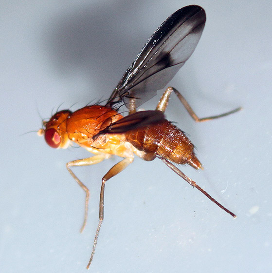 Reddish fly with spotted wings - Clusia occidentalis