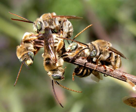 Eucerini - Melissodes communis - male