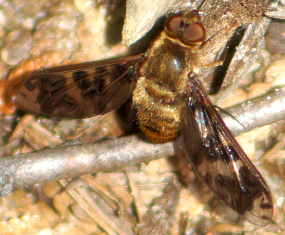 Another Beefly? - Dipalta banksi