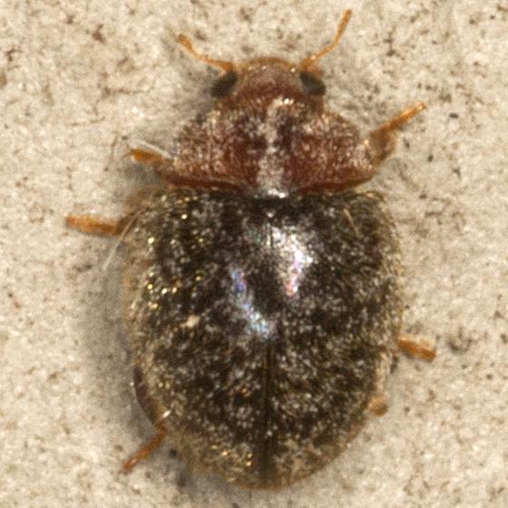 Lady Beetle - Rhyzobius lophanthae
