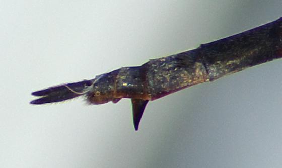Striped Emerald (Somatochlora)? - Somatochlora tenebrosa - female