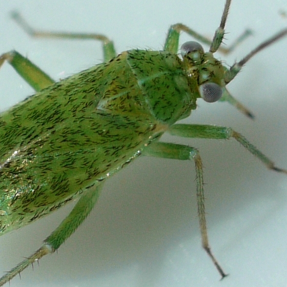 bug - Brooksetta althaeae