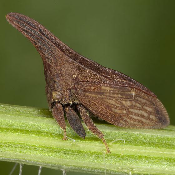 Treehopper IMG_0625 - Enchenopa latipes