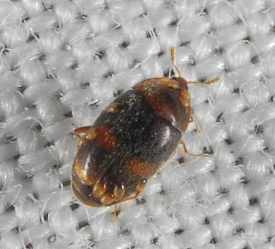 BioBlitz Bug 142 - Clypastraea lepida