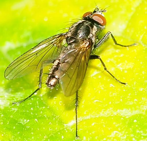 Family Anthomyiidae - Root-Maggot Flies - Delia radicum - male