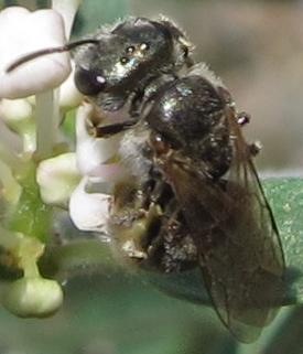 Small Bee on Fendler Ceanothus - Halictus tripartitus