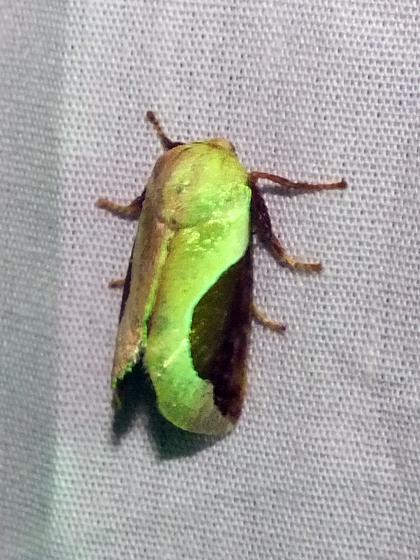 Moth - Prolimacodes badia