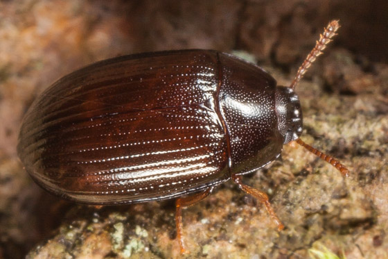 Agyrtidae ? - Platydema excavatum