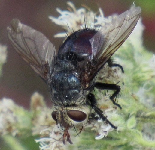 Fly - Archytas metallicus - female