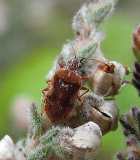 Tiny Bug - Kleidocerys resedae