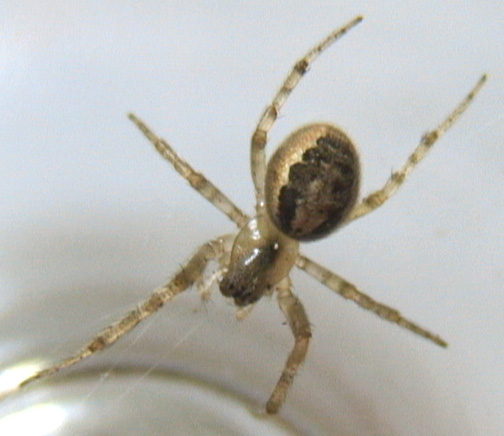 Orb Weaver with 6 legs - Zygiella x-notata