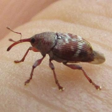 Weevil in Barrie - Curculio rubidus