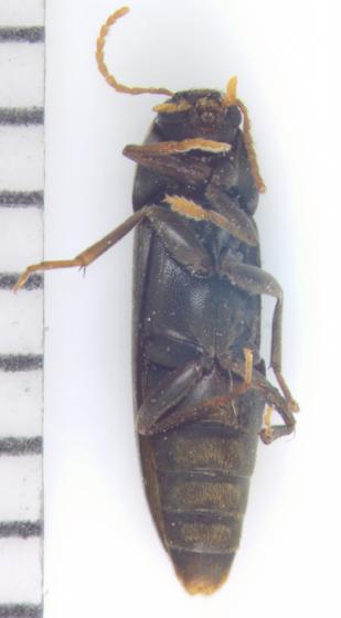 Melandryidae, ventral - Phloiotrya