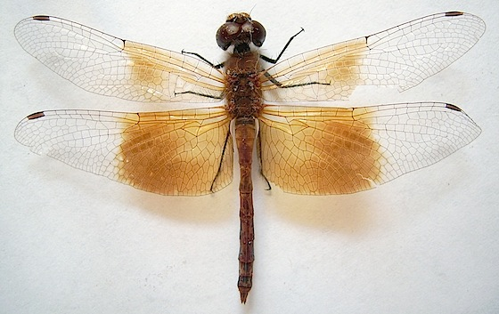 Western Band-winged Meadowhawk - Sympetrum semicinctum