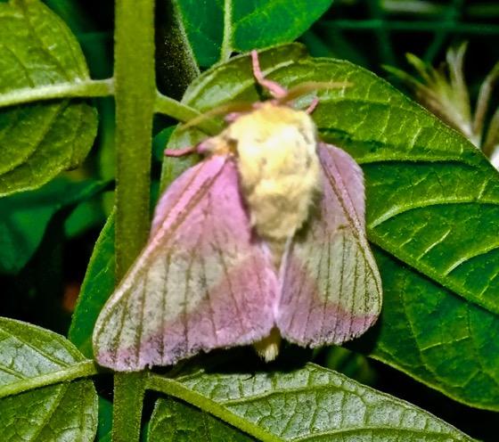 Rosy Maple Moth - Dryocampa rubicunda - male