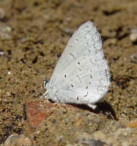 Echo Blue - Celastrina echo - male