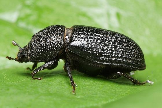 Beetle - Sinodendron rugosum