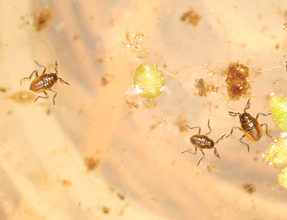 Tiny Water Bugs