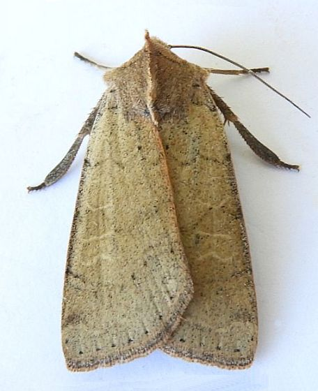 Arizona Moth - Richia chortalis