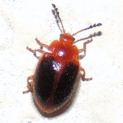 Orange and black beetle? - Stenotarsus hispidus