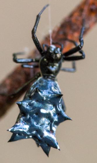 Spiky black spiders - Micrathena gracilis