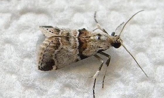 Florida Moth - Tallula