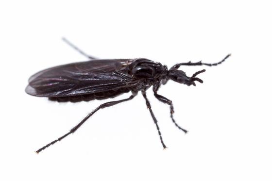 Dilophus orbatus - Dilophus - female