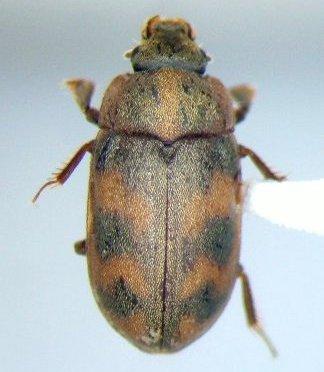 Centuriatus auromicans - Augyles auromicans