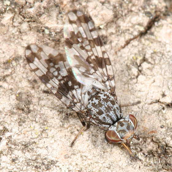 Picture-winged Fly - Pseudotephritis corticalis