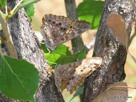 Hackberry Emperors nectaring on cottonwood sap - Asterocampa celtis