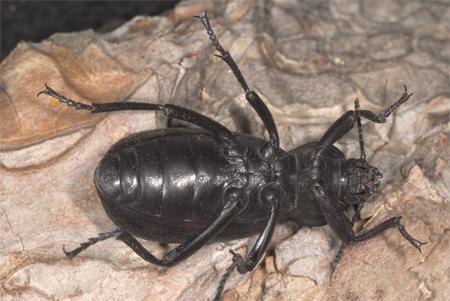 Large ground beetle - Eleodes