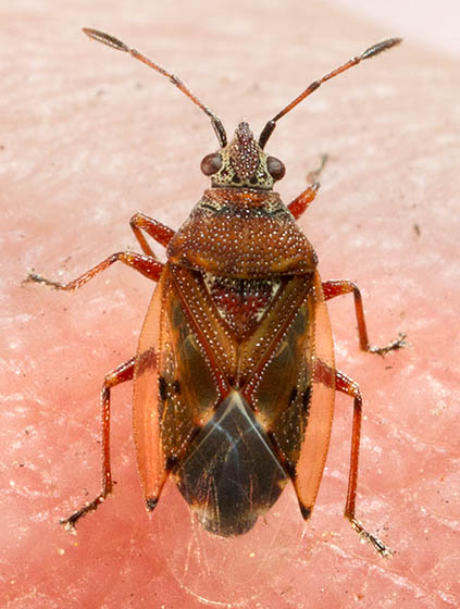 Is This A Stink Bug ? - Kleidocerys resedae