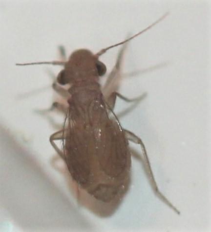 Psocodea - Rhyopsocus eclipticus
