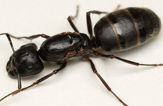 dewinged queen - Camponotus pennsylvanicus - BugGuide.Net