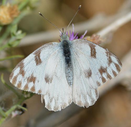 Checkered White ? - Pontia - female