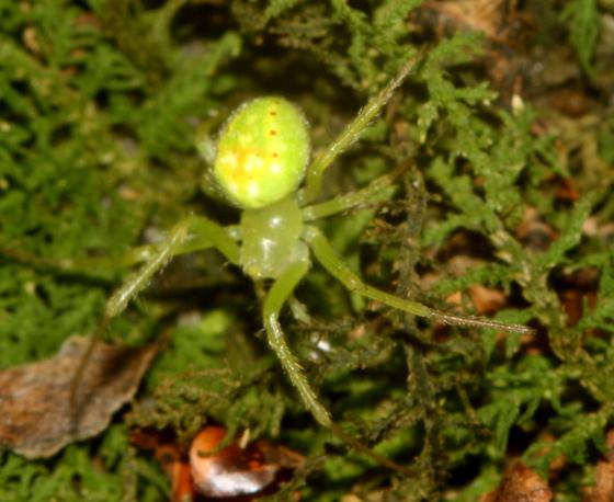 Small, bright green spider - Araneus cingulatus