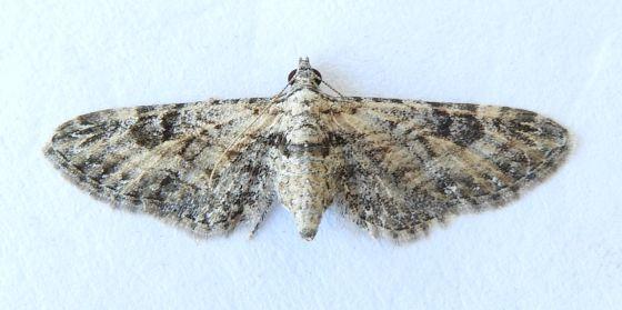 Arizona Moth - Prorella mellisa