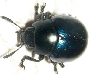 Blk & Blue Beetle - Leptinotarsa haldemani