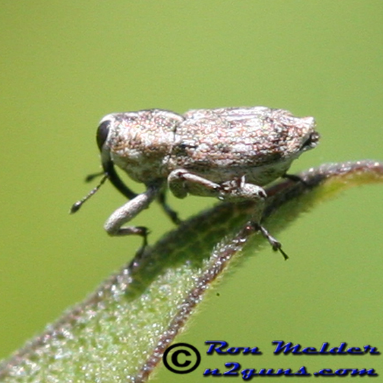 Weevil 1 - Cylindrocopturus adspersus