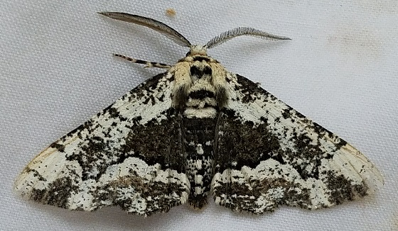 Phaeoura quernaria (Oak Beauty) - Phaeoura quernaria - male