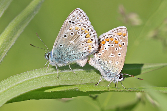 Polyommatus icarus - Common Blue - Polyommatus icarus - male - female