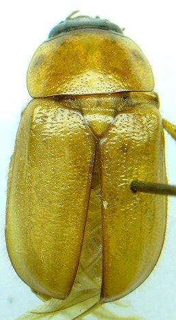 Scarab - Cyclocephala lurida - male