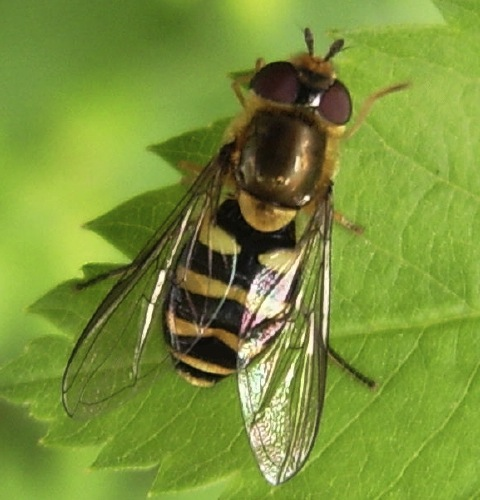Syrphid Fly - Syrphus opinator - female