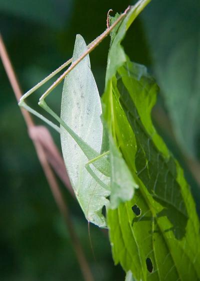 Very Pale Katydid - Amblycorypha oblongifolia - female