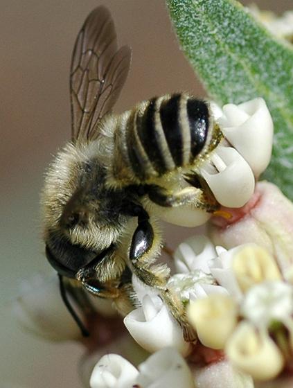 Megachile - male